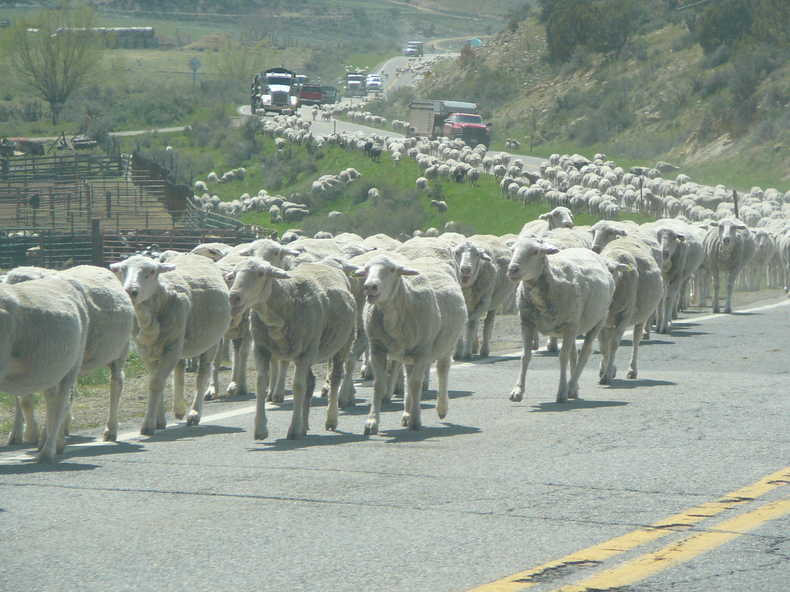 Miles of sheep