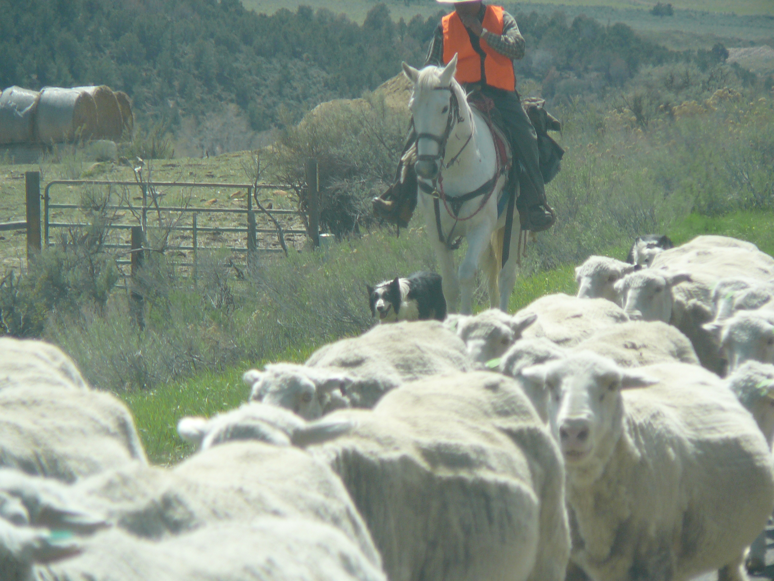 Sheep herder on horseback